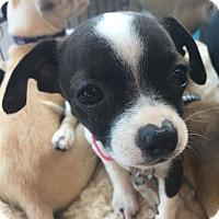 Adopt A Pet :: Licorice - San Diego, CA