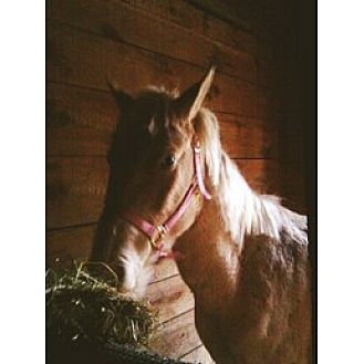 Paint/Pinto for adoption in PRINCETON, Kentucky - pal/creme mare