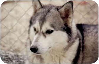 Siberian Husky Dog for adoption in Southern California, California - Karina - Likes Cats!