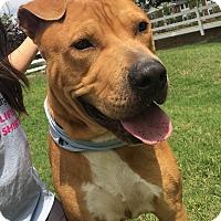 Adopt A Pet :: Scooby Doo - Marietta, GA