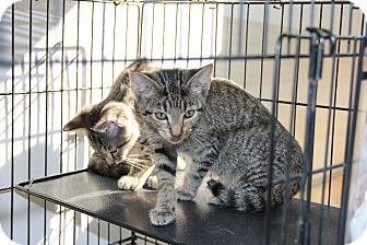 Domestic Shorthair Kitten for adoption in Greensboro, North Carolina - Maude