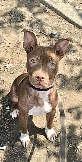 Pit Bull Terrier Mix Puppy for adoption in Chico, California - Adobe