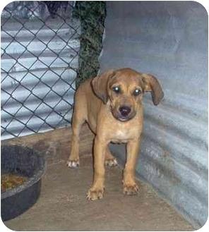 Boxer/Dachshund Mix Puppy for adoption in springtown, Texas - abbigail