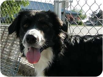 Border Collie Dog for adoption in Meridian, Idaho - Nash