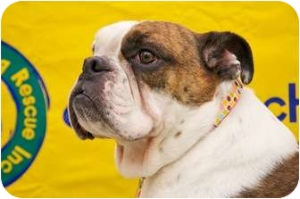English Bulldog Dog for adoption in Park Ridge, Illinois - Fiona *Adoption Pending*