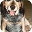 Photo 1 - Beagle Dog for adoption in Waldorf, Maryland - Little Boy Blue
