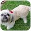 Photo 3 - Lhasa Apso/Shih Tzu Mix Dog for adoption in Los Angeles, California - REENIE