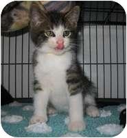 Domestic Shorthair Kitten for adoption in Shelton, Washington - Reginald