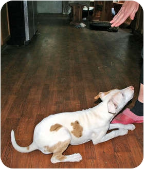 American Pit Bull Terrier Puppy for adoption in Richburg, South Carolina - Mushroom