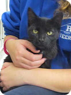 Domestic Shorthair Kitten for adoption in Riverhead, New York - DJ