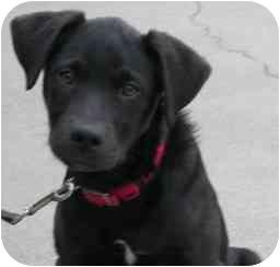 Labrador Retriever/Border Collie Mix Dog for adoption in Brenham, Texas - Cole