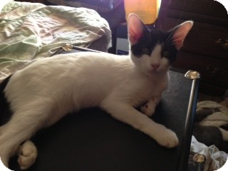 American Shorthair Cat for adoption in Weatherford, Texas - Spike