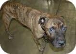 Boxer/American Pit Bull Terrier Mix Dog for adoption in Plainfield, Illinois - Casper