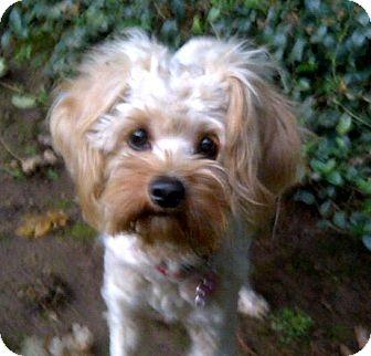 Havanese Mix Puppy for adoption in Salem, Oregon - Rosie