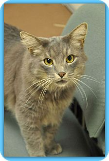 Domestic Mediumhair Cat for adoption in Marietta, Georgia - FRANK
