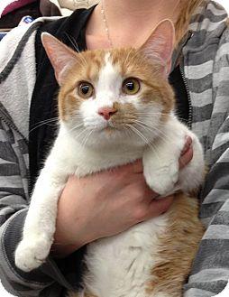 Domestic Shorthair Cat for adoption in Troy, Ohio - AJ