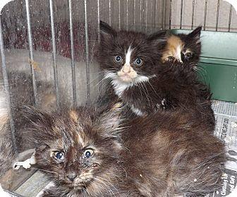 Domestic Mediumhair Kitten for adoption in Henderson, North Carolina - S Kittens 5
