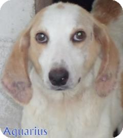 Hound (Unknown Type) Mix Dog for adoption in Georgetown, South Carolina - Aquarius