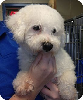Bichon Frise Dog for adoption in Fairview Heights, Illinois - Reed