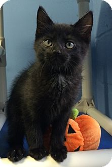 Domestic Shorthair Kitten for adoption in Germantown, Tennessee - Vernon