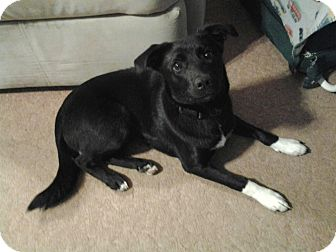 Border Collie/Labrador Retriever Mix Dog for adoption in Massillon, Ohio - ABBY