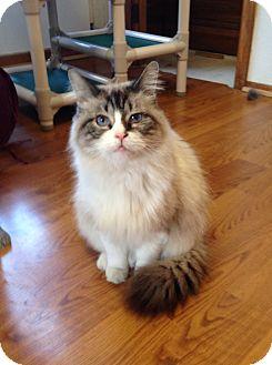 Ragdoll Cat for adoption in Greensburg, Pennsylvania - Malcolm