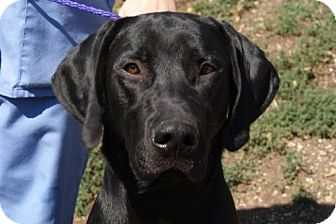 Labrador Retriever Dog for adoption in Parkville, Missouri - Kelso
