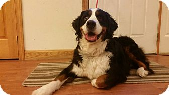 Bernese Mountain Dog Dog for adoption in Mount Gilead, Ohio - Boomer