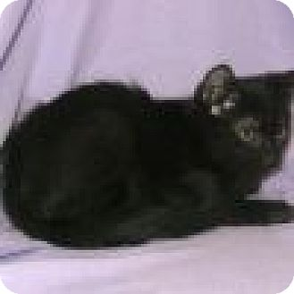 Domestic Shorthair Cat for adoption in Powell, Ohio - Radar