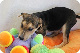 Labrador Retriever Mix Puppy for adoption in Saddle Brook, New Jersey - LEONARD