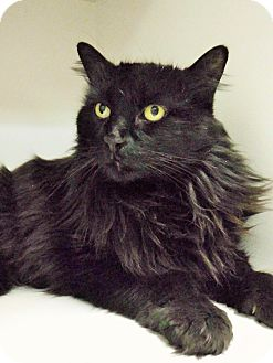 Domestic Longhair Cat for adoption in Dublin, California - Bubba