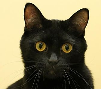 Bombay Cat for adoption in Overland Park, Kansas - Simon