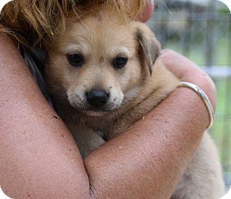 Australian Cattle Dog/Australian Shepherd Mix Puppy for adoption in Seneca, South Carolina - Chandler $250
