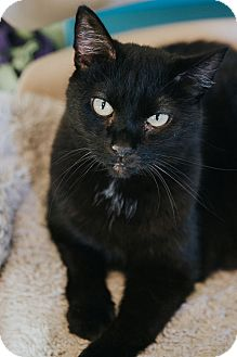 Domestic Shorthair Cat for adoption in Indianapolis, Indiana - Wini-Fred