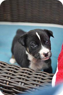 Australian Shepherd/Husky Mix Puppy for adoption in Bend, Oregon - Vincent