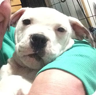 Boxer/Terrier (Unknown Type, Medium) Mix Puppy for adoption in Media, Pennsylvania - AULD LANG (NEW YEAR'S BABY BOY