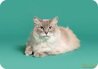 Norwegian Forest Cat Cat for adoption in Sauk Rapids, Minnesota - Abott