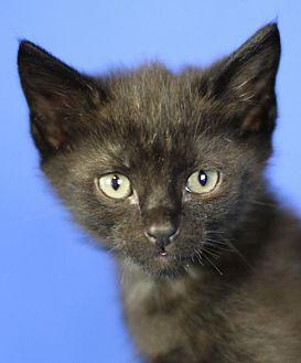 Domestic Shorthair Kitten for adoption in Winston-Salem, North Carolina - Poppy