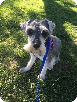 Schnauzer (Standard) Dog for adoption in Las Vegas, Nevada - Walter
