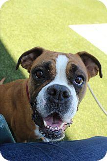 Boxer Dog for adoption in Burbank, California - Samba