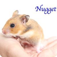 Adopt A Pet :: Nugget - Bradenton, FL