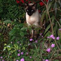 Adopt A Pet :: Simon 14 - Austin, TX