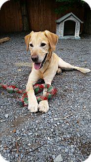 Labrador Retriever Mix Dog for adoption in Washingtonville, New York - Buddy