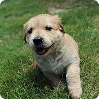 Adopt A Pet :: Waffle - Winchester, VA