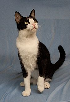 Domestic Shorthair Cat for adoption in Houston, Texas - Tux