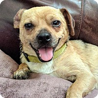Adopt A Pet :: Dwight - Helotes, TX