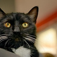 Domestic Shorthair Cat for adoption in Eden Prairie, Minnesota - Oakley C170200