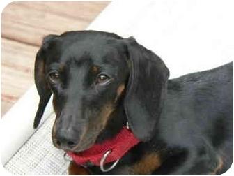 Dachshund Dog for adoption in Wallingford, Connecticut - ALLIE