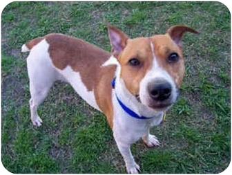 Jack Russell Terrier Dog for adoption in Austin, Texas - Sammy