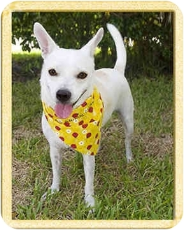 Chihuahua/Terrier (Unknown Type, Small) Mix Dog for adoption in North Palm Beach, Florida - Amiga